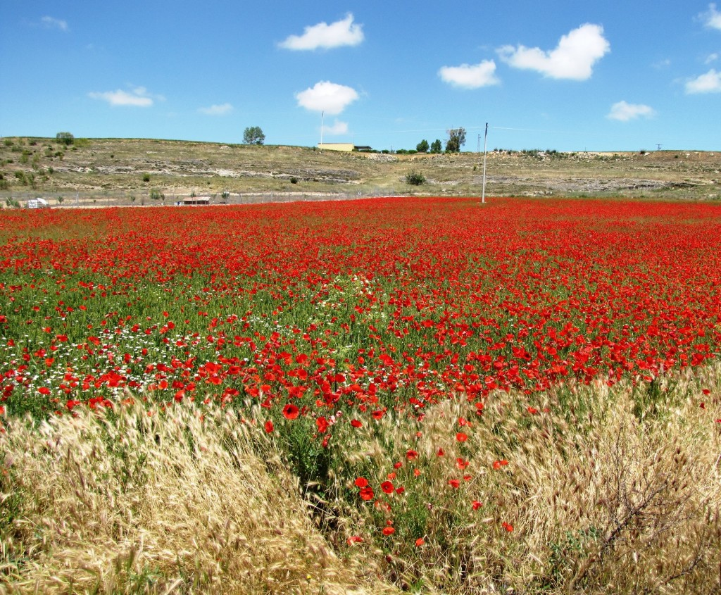 Poppy fields of Segovia, Spain.